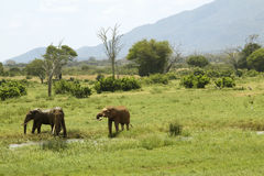 African Elephants at watering hole in Tsavo National Park, Kenya, Africa Royalty Free Stock Images
