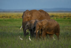 African elephants wfamily. African elephants family in late p.m. light Stock Photos