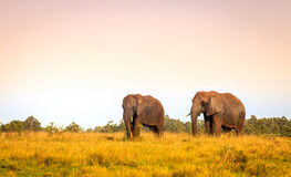 African elephants. Young rescued elephants in Knysna Elephant Park, South Africa Stock Photos