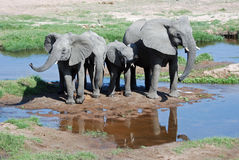 African Elephants with young-Tanzania. African elephants also known as savannah elephants ( Loxodonta Africana Africana) with young standing and drinking by royalty free stock photography
