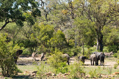 African elephants and zebras at a waterhole Royalty Free Stock Photography