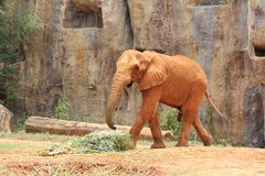 African elephants at the zoo Royalty Free Stock Photo