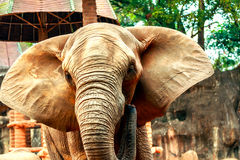African elephants in zoo Stock Photography