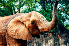 African elephants in zoo Royalty Free Stock Photo