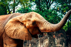 African elephants in zoo Royalty Free Stock Image