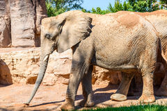 African Elephants In Zoo Royalty Free Stock Images