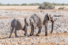 African elphant cow and calf walking between calcrete rocks Stock Images