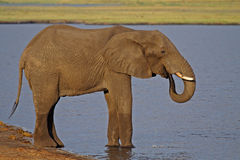 African elphant drinking from the Chobe River Royalty Free Stock Photography