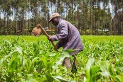 African Farmer Weeding. An African farmer weeding a maize field in Kenya Stock Photos