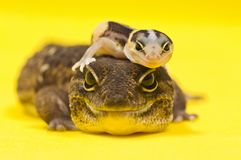 African Fat-Tailed Gecko On Top Of Its Parent Stock Image