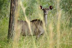 African female Kudu in the wild royalty free stock photography