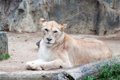 An African female lion cat Royalty Free Stock Photo