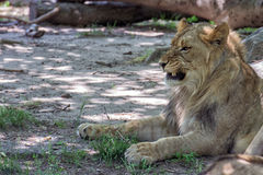 African female lion close up Stock Photography