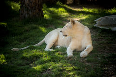 African female lion Stock Photo