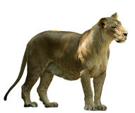 African female lion Royalty Free Stock Image