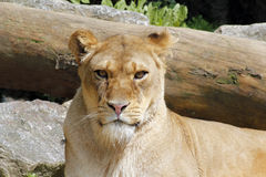 African female lion queen of beasts portrait. African female lion clear portrait Royalty Free Stock Photography