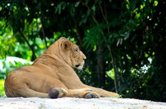 African female lion relaxes and rests to beat heat. Singapore - July 9, 2016: A female African lion or lioness relaxes and rests to beat Singapore's tropical Stock Images