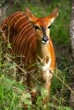 African Female Nyala Royalty Free Stock Images