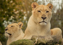 African female white lions Royalty Free Stock Photo