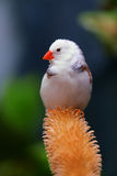 African Finch Stock Images