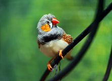 African Finch. Small beautiful birds of the African savanna Royalty Free Stock Photography