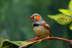 African Finch Stock Photography