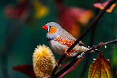African Finch Royalty Free Stock Image