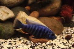Haplochromis jacksoni Stock Photography