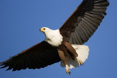 African Fish Eagle. Haliaeetus Vocifer; South Africa Royalty Free Stock Image