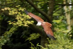 African Fish Eagle. An African Fish Eagle in flight Royalty Free Stock Image