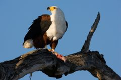 African Fish Eagle. Haliaeetus Vocifer; South Africa Stock Photos