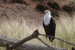 African Fish Eagle. On Perch Stock Photos