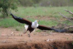African Fish Eagle. Taking to flight Stock Images
