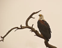 The  African Fish Eagle Royalty Free Stock Photos
