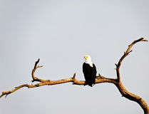 The African fish eagle. In Kenya Royalty Free Stock Images