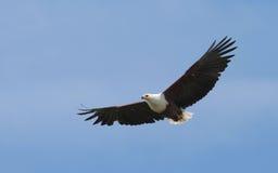 African Fish Eagle. Flying in Kenya Stock Photos
