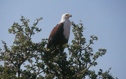 African Fish Eagle. An African Fish Eagle surveys his terrain from the treetop Stock Photography