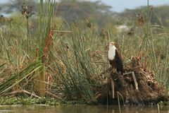 African fish eagle. Photos of an african fish eagle by a lake Stock Photography