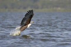 African fish eagle. Eagle (Haliaeetus Vocifer ) catching fish , Naivasha  Lake National Park, Kenya Stock Photo