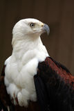 African Fish Eagle Royalty Free Stock Images