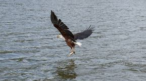 A African Fish Eagle stock photography