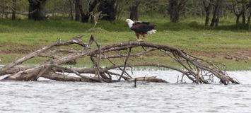 A African Fish Eagle stock photo