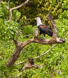 African Fish Eagle and Baboon. A Yellow Baboon (Papio cynocephalus) shares a tree with an African Fish Eagle (Haliaeetus vocifer) at Shimba Hills nature reserve Stock Image