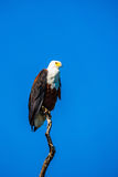 African fish eagle on blue sky Stock Photo