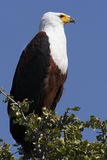 African Fish Eagle - Botswana royalty free stock image