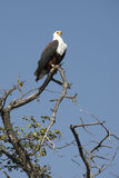 African Fish Eagle - Botswana. An African Fish Eagle in Chobe National Park in Botswana stock images