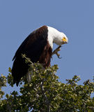 African Fish Eagle - Botswana Stock Photography