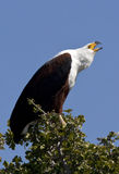 African Fish Eagle - Botswana. An African Fish Eagle (Haliaeetus vocifer) calling. Chobe National Park in Botswana Royalty Free Stock Images