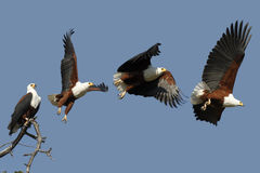 African Fish Eagle - Botswana. Take off sequence of an African Fish Eagle (Haliaeetus vocifer) in Chobe National Park in Botswana Stock Images