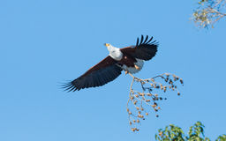 African Fish Eagle, Botswana Stock Images